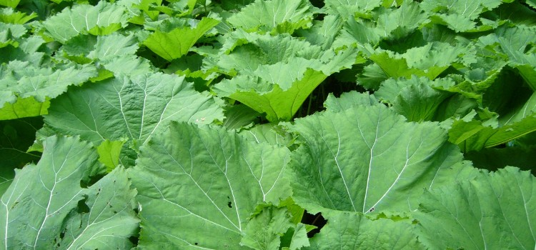 For Hay Fever and Other Seasonal Allergies, Try Butterbur
